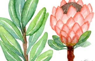 Watercolour Protea Botanical Illustrations